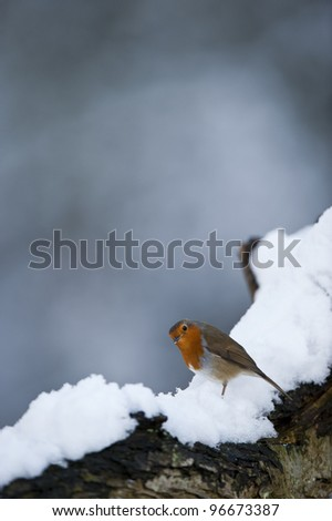 Alert Robin (Erithacus rubecula), on a snow covered tree branch.