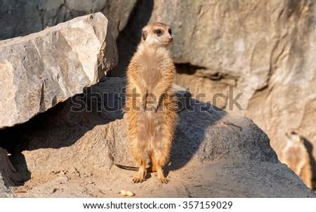 Alert Suricate or Meerkat (Suricata suricatta), standing to lookout. - stock photo