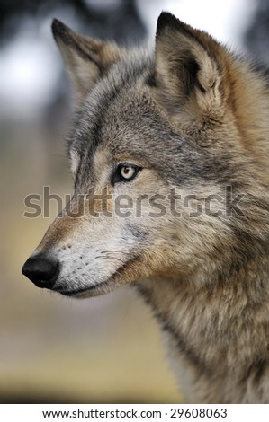 Alert Timber Wolf (Canis lupus) Portrait - captive animal - stock photo