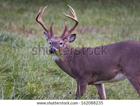 Alert white-tailed buck feeding in the grasslands of Cade's Cove, Tennessee - stock photo
