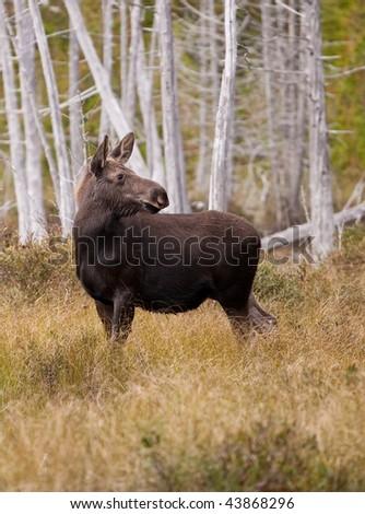 Alert Young Moose - stock photo