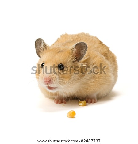 Alerted male hamster with corn seeds isolated on white background. - stock photo