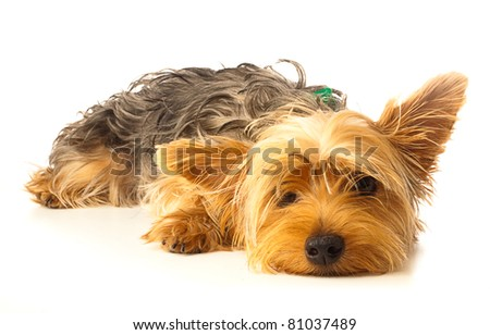 alerted yorkshire on a white background - stock photo