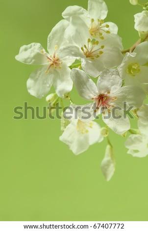 Aleurites Montana mix with green background - stock photo