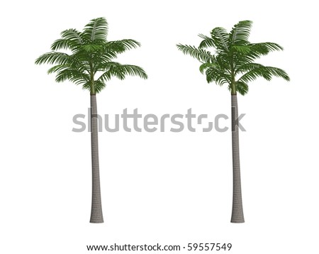 Alexander or king palm palm isolated on white