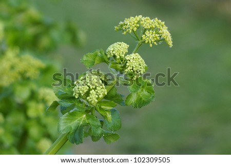 Alexanders (Smyrnium olusatrum) growing on an Isle of Wight cliff - stock photo