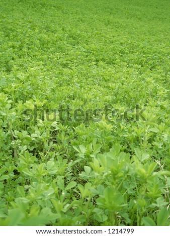 Alfalfa field - stock photo