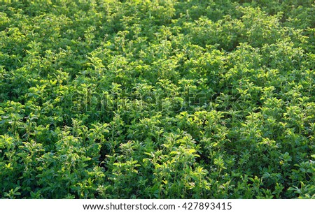 Alfalfa field in detail of the growth process                                - stock photo
