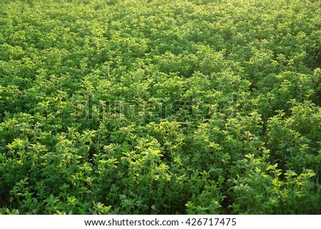Alfalfa growing in the countryside                                - stock photo