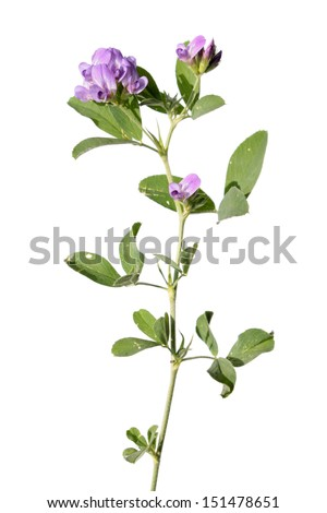 Alfalfa isolated on white - stock photo