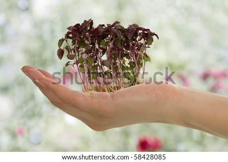 Alfalfa sprout in female hand on light green background.