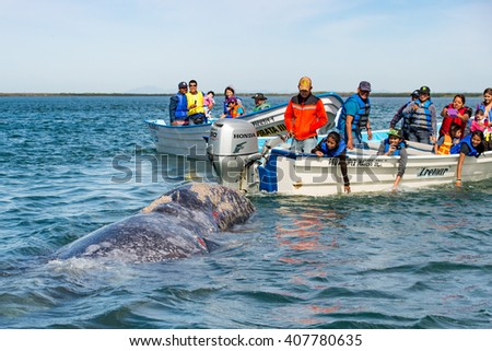 ALFREDO LOPEZ MATEOS - MEXICO - FEBRUARY, 5 2015 - hands while caressing and touching a grey whale mother and calf resting for milking - stock photo