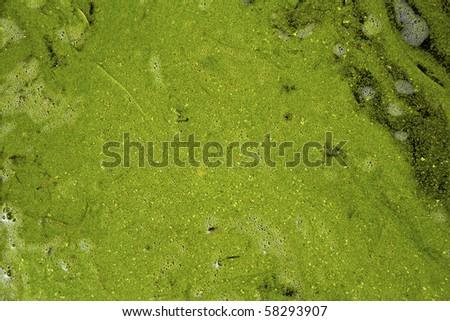 Algae and duckweed detail on lake surface - stock photo