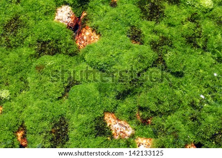 algae plant on the surface of the riverbed - stock photo