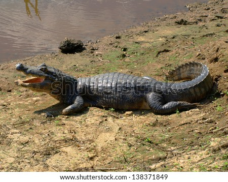 Aligator - stock photo