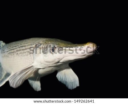 Aligator Gar isolated on Black - stock photo
