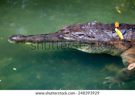 aligator, head and neck close-up - stock photo