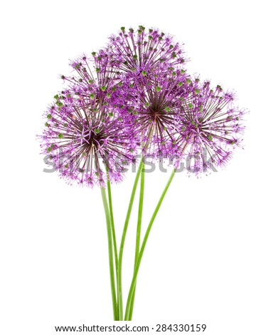 alium flowers isolated on white - stock photo
