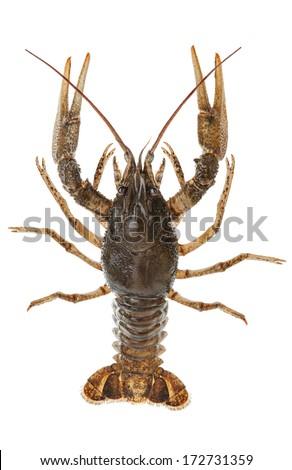 Alive crayfish closeup isolated on white background - stock photo