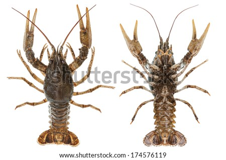 Alive crayfish closeup isolated on white background, top and bottom - stock photo