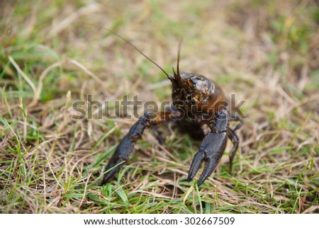 Alive crayfish on grass background. - stock photo