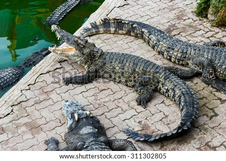 alive crocodile open mouth  from Thailand farm - stock photo
