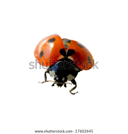 Alive lady bug isolated on white background