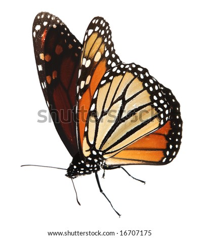 Alive monarch butterfly isolated on white, clipping path - stock photo