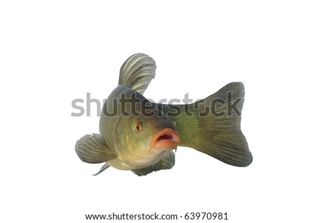 alive tench on white background - stock photo