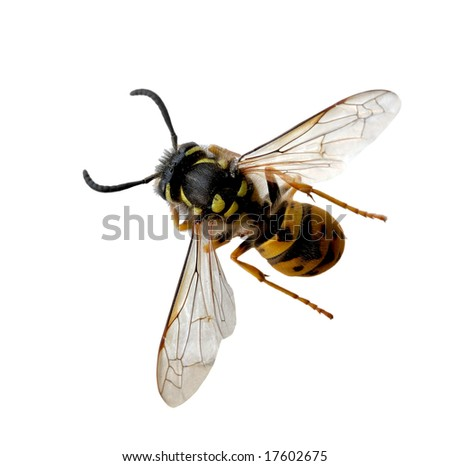 Alive wasp bee isolated on white background - stock photo