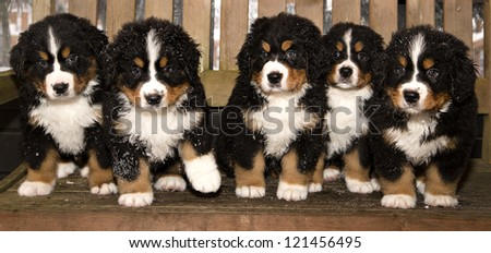 All bernese mountain dog puppets are finaly home - stock photo
