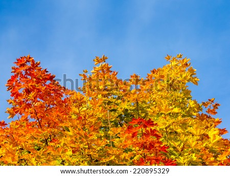 All the autumns colors in maple leafs against the blue sky - stock photo