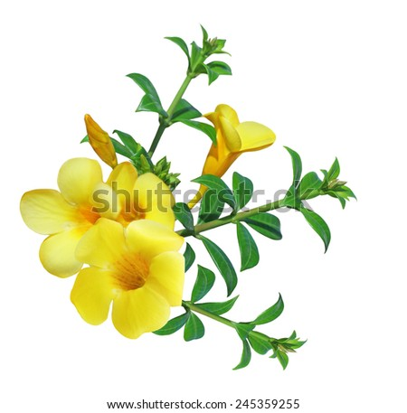 Allamanda Flower ( Yellow bell) isolated on white background - stock photo