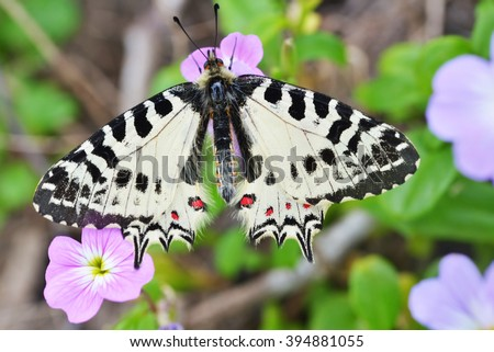 Allancastria cerisyi, Eastern Festoon butterfly on a flower in Dilek national park, Turkey. Selective focus on the butterfly - stock photo