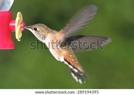 Allens Hummingbird (Selasphorus sasin) in flight at a feeder with a green background - stock photo