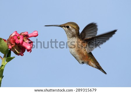 Allens Hummingbird (Selasphorus sasin) in flight at a flower with a blue background - stock photo