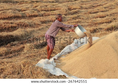 ALLEPPEY, INDIA - APR 03 : An unidentified farmer engages in the post harvest jobs in the rice fields in April 03, 2015 in the Kuttanad region in Alleppey, Kerala, India. - stock photo