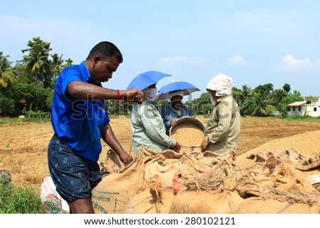 ALLEPPEY, INDIA - APR 04 : Unidentified farmers engage in the post harvest jobs in the rice fields in April 04, 2015 in the Kuttanad region in Alleppey, Kerala, India - stock photo