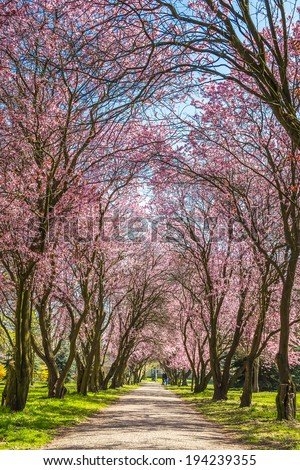 Alley in the park blooming trees - stock photo