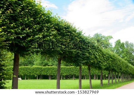 alley of green trees trimmed square shape in the Park - stock photo