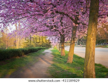 Alley with path in garden with majestically blossoming cherry trees on a fresh green lawn at sunset