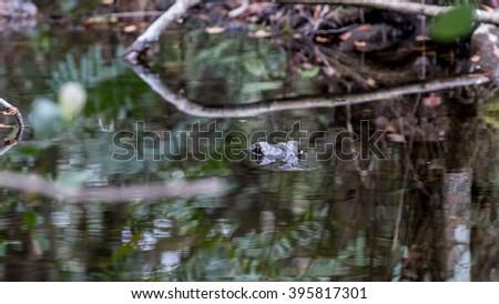 Alligator (Alligator mississippiensis) in a Swamp, Big Cypress National Preserve, Florida - stock photo