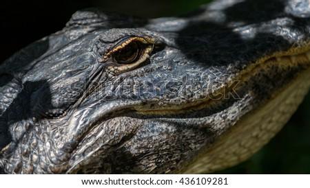 Alligator (Alligator mississippiensis) Staring, Big Cypress National Preserve, Florida - stock photo