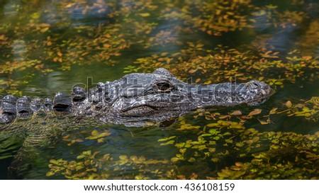 Alligator (Alligator mississippiensis) Swimming, Big Cypress National Preserve, Florida - stock photo