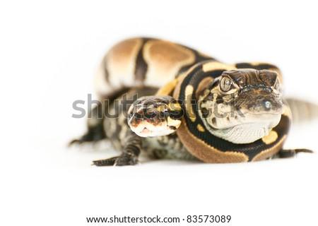 Alligator and Python Hatchling - stock photo