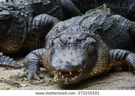Alligator close up - stock photo