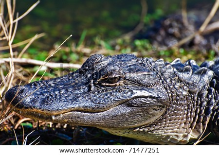 Alligator Close up of head - stock photo