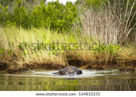 Alligator entering the water - stock photo