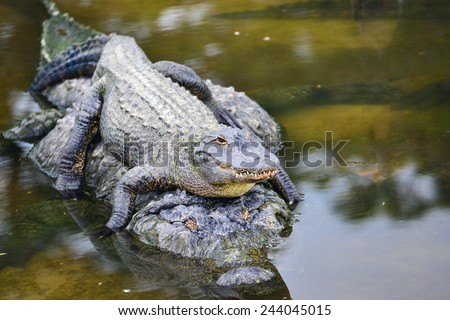 Alligator family - Mother alligator carries her child alligator safely in river water - stock photo