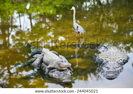 Alligator family poses in the river - stock photo